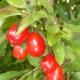 Kornelkirschen (Cornus mas)