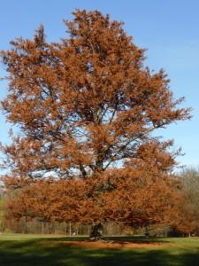 Rotbuche mit Herbstfärbung