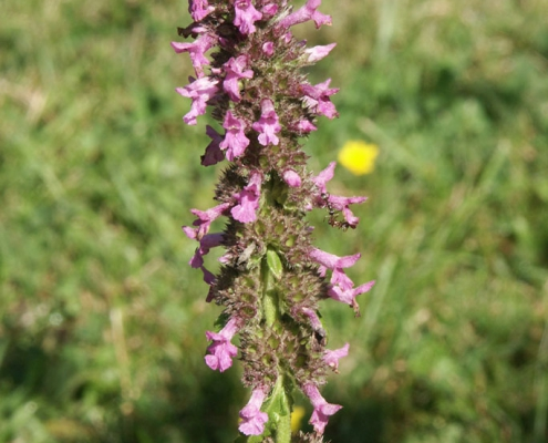 Hortulus: Heilziest (Betonica officinalis)