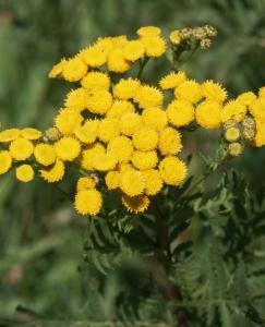 Hortulus: Rainfarn (Tanacetum vulgare)