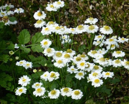 Hortulus: Mutterkraut (Tanacetum balsamita)