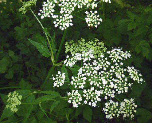 Giersch in Blüte