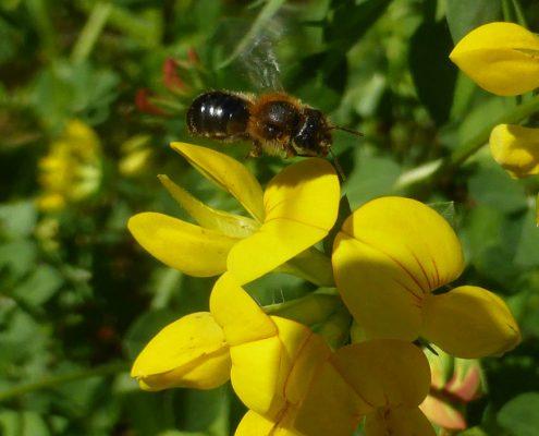 Hornklee (Lotus corniculatus)