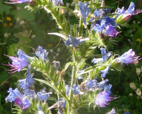 Natternkopf (Echium vulgare)
