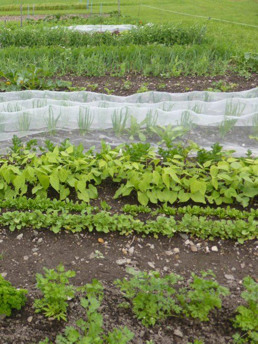 Kräuter und Gemüse im Beet