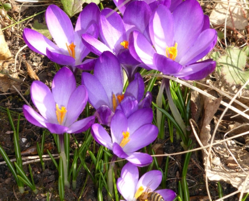 Krokus (Crocus 'Ruby Giant')