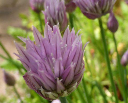 Schnittlauch (Allium schoenoprasum)