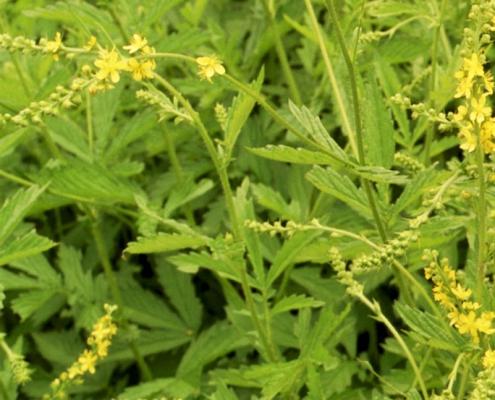 Hortulus: Odermennig (Agrimonia eupatoria)