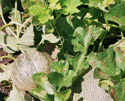 Hortulus: Melone (Cucumis melo)