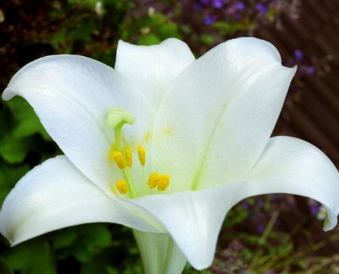 Hortulus: Madonnenlilie (Lilium longiflorum)