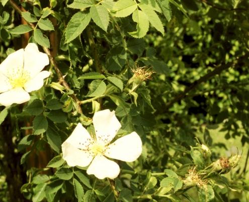 Hortulus: Rose (Rosa canina)