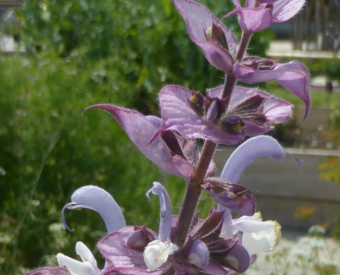 Hortulus: Muskatellersalbei (Salvia sclarea)