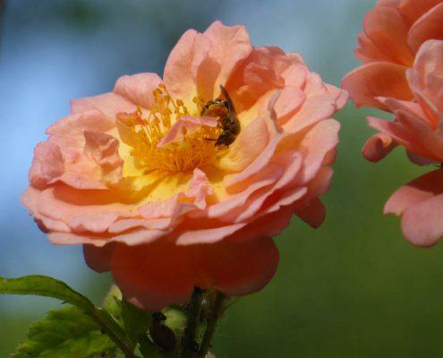 Rose halbgefüllt