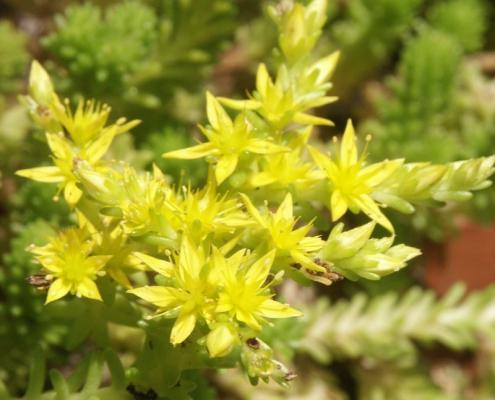 Milder Mauerpfeffer (Sedum sexangulare) in Blüte