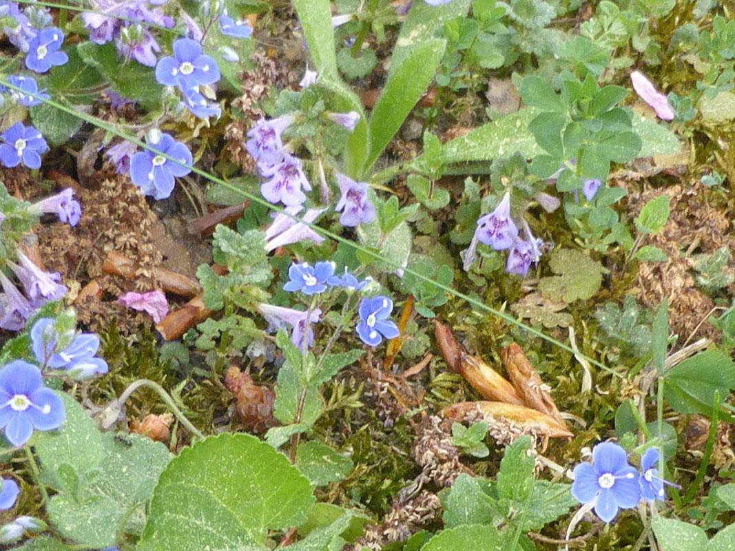 Blumenwiese mit Veronica und Glechoma