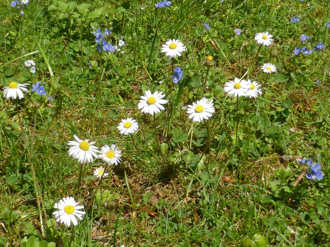 Blumenwiese mit Gänseblümchen (Bellis perennis)