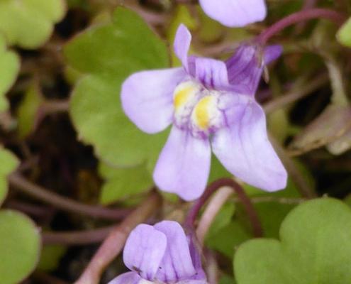 Zimbelkraut- Blüten im Detail