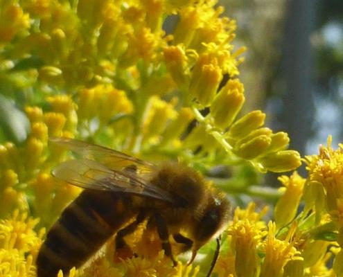 Bienenbesuch bei der Goldrute