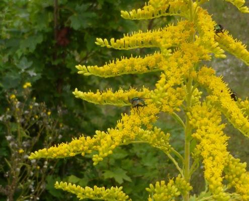 Blütenstand der Goldrute